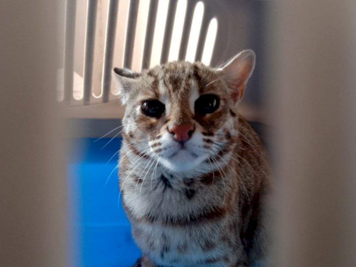 Warga Tulungagung Tak Sengaja Temukan Kucing Hutan, Kini Diserahkan ke BKSDA Kediri